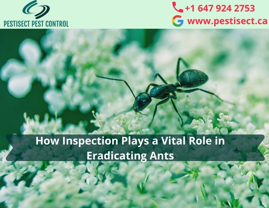 How Inspection Plays a Vital Role in Eradicating Ants